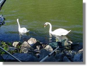 Schwäne am Neckarufer